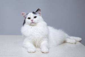 Отдам в хорошие руки молодого шикарного котика Ивашу.