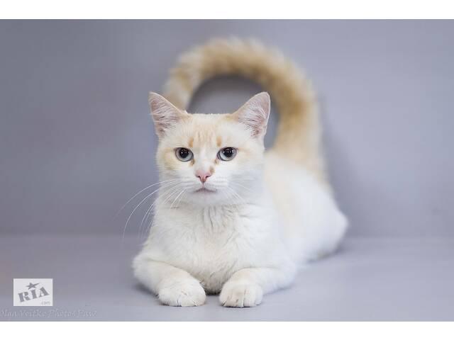 бу Отдам в хорошие руки молодую кошечку Ксу , фенотипичную тайскую кошку . в Киеве