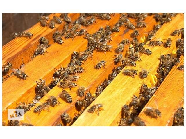 продам Бджолопакети карпатської породи 5 рамкові бу в Золочеві