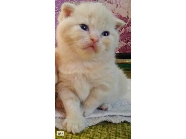 купить бу Породистые котятка в Сумах