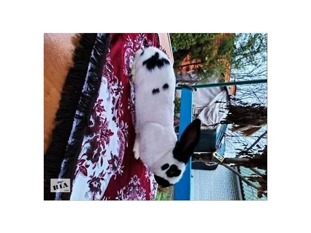 купить бу Породистый молодой кролик с подарком в Запорожье