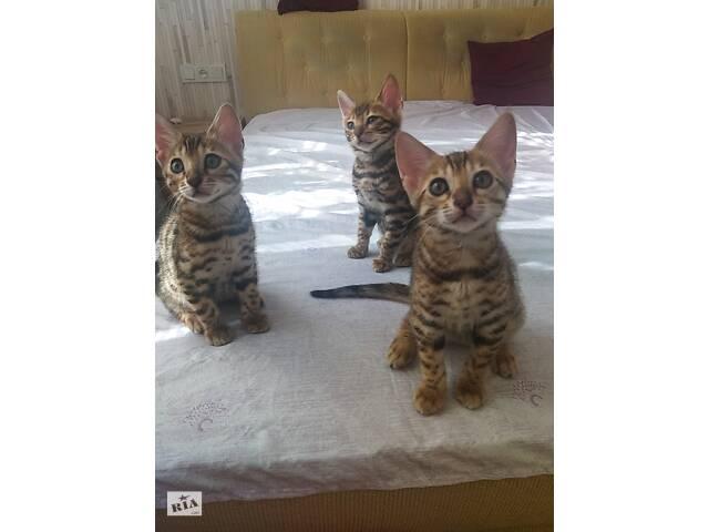 Продам бенгальских котят- объявление о продаже  в Вінниці