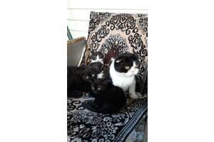 Продам котят веслоухих и прямоухих нам 2 месяца