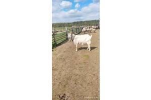 Продам козлят от зааненского козла