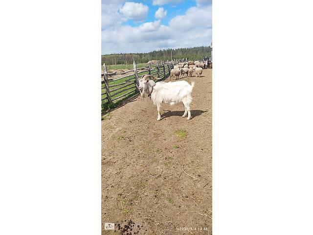 купить бу Продам козлят от зааненского козла в Середині-Буди