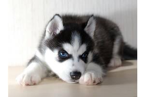 Продам красивых чистокровных собачек Хаски....