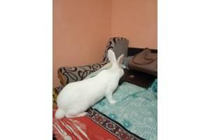 Продам кролики термонці м'ясна порода