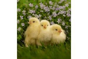 Продам цыплята оптом и в розницу