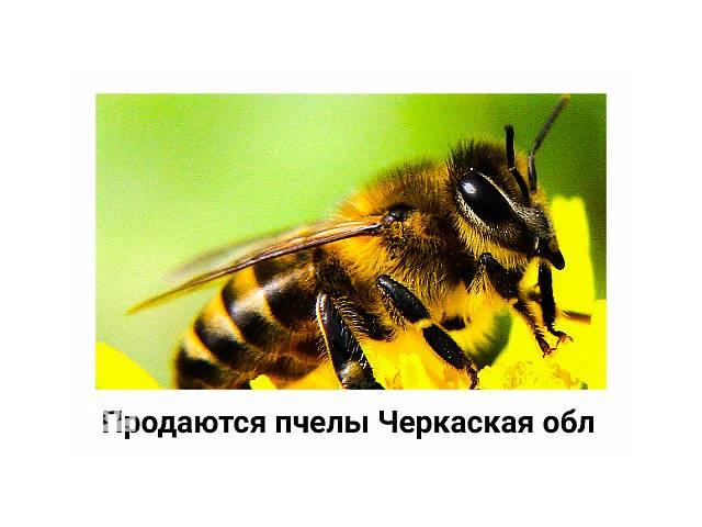 Продам бджолопакети. Приймаємо замовлення на відправку пакетів з бджолами, на 2020р…- объявление о продаже  в Києві