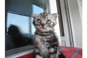 Продам шотландських кошенят, вік 2,5 міс. , Висловухі і прямоухие