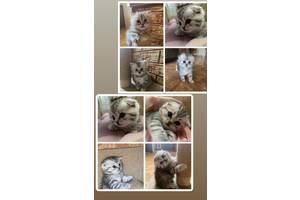 Продам шотландских котят, вислоухие, прямоухие