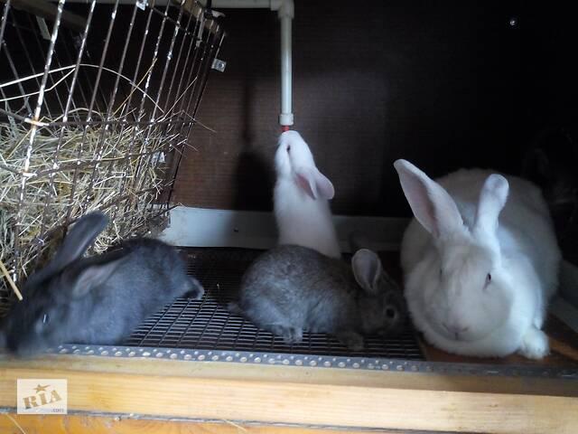 Продажа кроликов для откорма и м'мясо кроликов- объявление о продаже  в Сколе