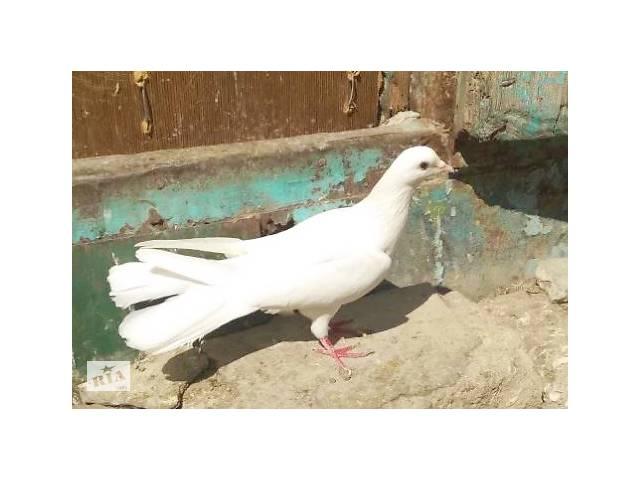 Ручной птенец голубь- объявление о продаже  в Харькове