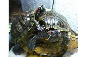 Самец красноухой черепахи.