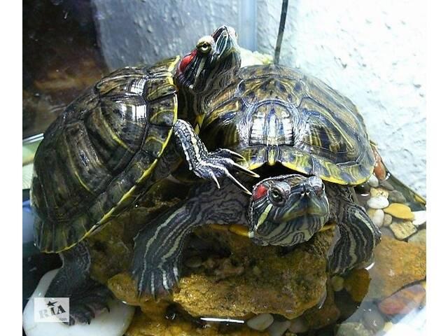 купить бу Самец красноухой черепахи. в Первомайске