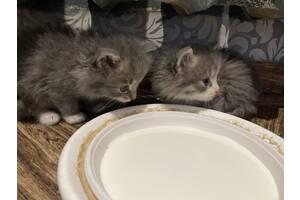 Серые котята с голубыми глазами.