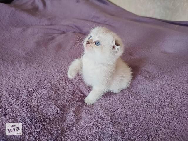 бу Шотладський котик в Вінниці