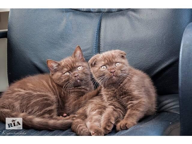 купить бу Шотландські кошенята з родоводом в Киеве
