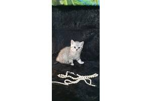 Шотландские котята 1,5мес