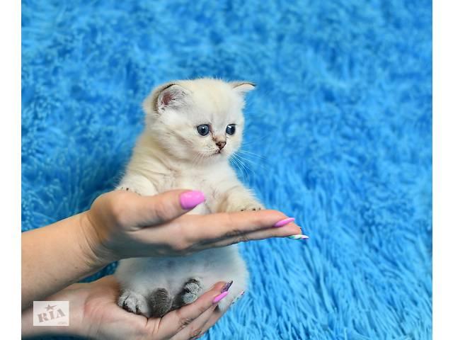 купить бу Шотландские котята в Днепре (Днепропетровск)