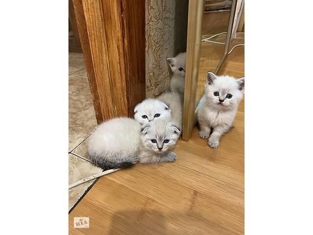 Шотландские котята - объявление о продаже  в Днепре (Днепропетровск)