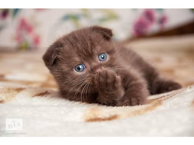 продам Шотландские шоколадние котята с родословной бу в Киеве