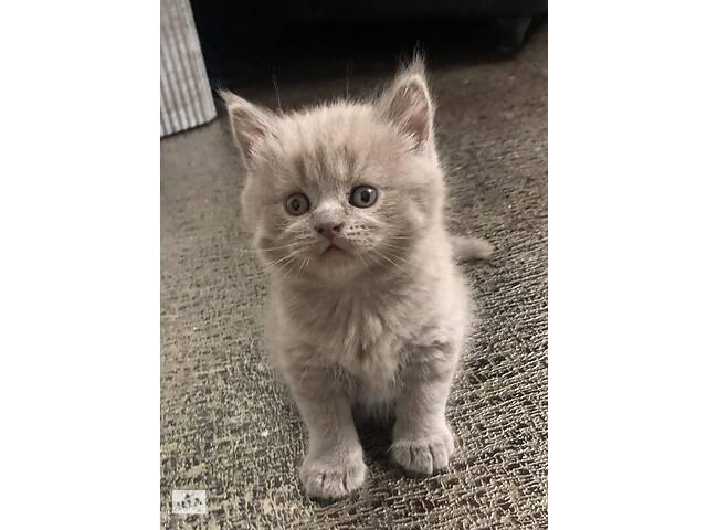 бу Шотландський прямовухий котик в Тернополі
