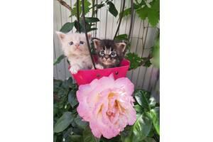 Шикарные котята мейн-кун