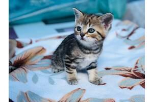 Шикарные мраморные котята