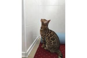 Шикарный Чистокровный Бенгальский Кот