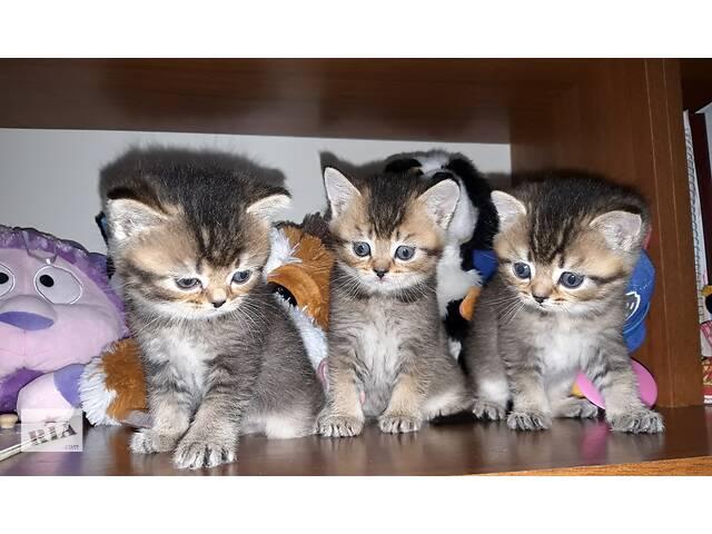 купить бу Шиншилловые котята, котёнок, скоттиш страйт, шотландские котята, мальчик,шотландский котёнок  в Вінниці