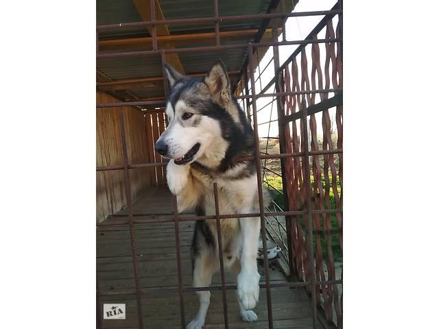 продам Вязка аляскинский маламут бу  в Украине