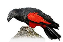 Грифовый попугай