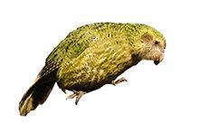 Какапо – Совиный попугай