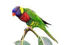 Ласточковый попугай – Лори