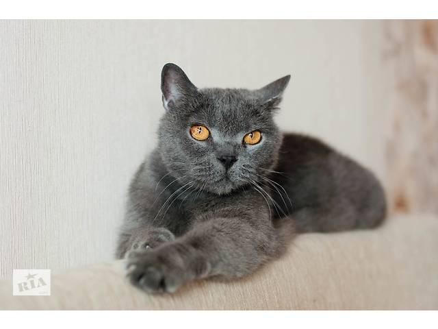 продам Бархат - британский кот в дар бу в Минске